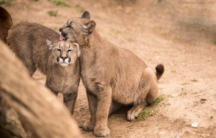 Puma - Mountain Lion - Cat Survival Trust