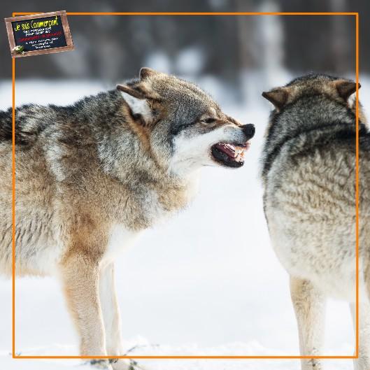 9 erreur loups