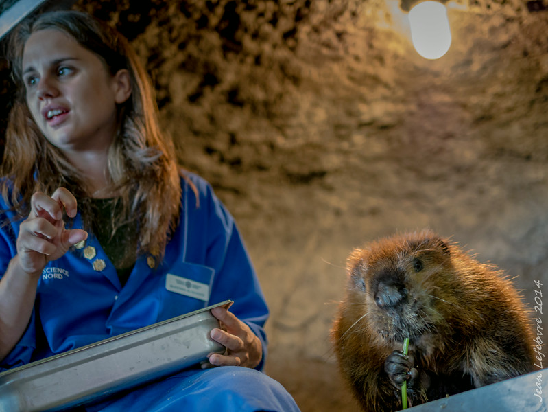 Beaver feeding at Science North