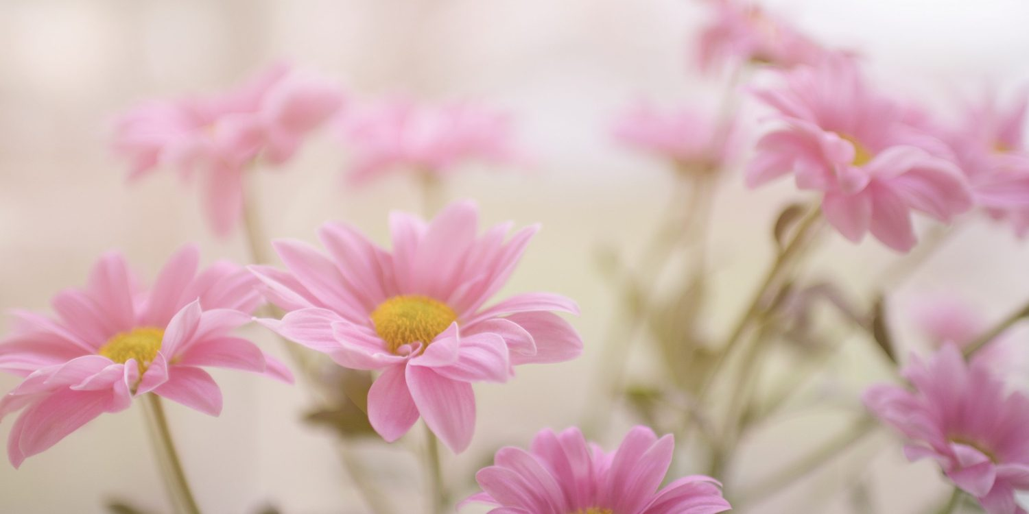 Pink daisy on a white background.