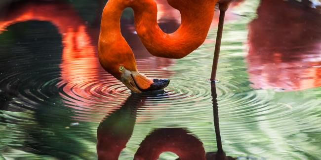 Flamingo looking into water and his reflection staring back.