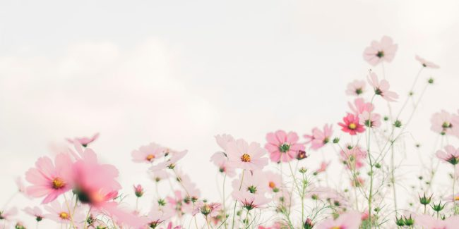 Pink and white flowers in a field with a white background.