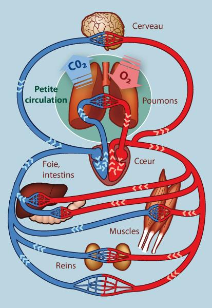 illustration circuit sanguin général