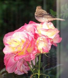 Bird on multi-colored rose