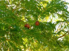 Jacaranda seed pods