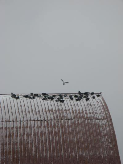 Flock clustered for warmth.