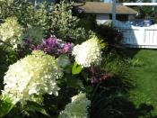 When the hydrangeas are in full bloom it's the end of summer.