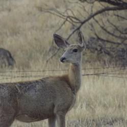 Deer Montana 2017
