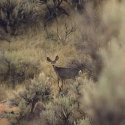 Deer Twin Falls Idaho 2017