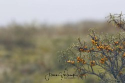 Sea buckthorn Berkheide 2017