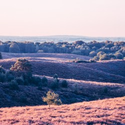 Nature_purple heather