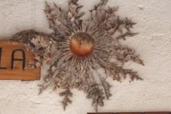 La cardabelle séchée
