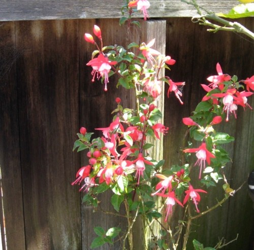 A vigorous flowering fuchsia. flowers are pale pink and magenta