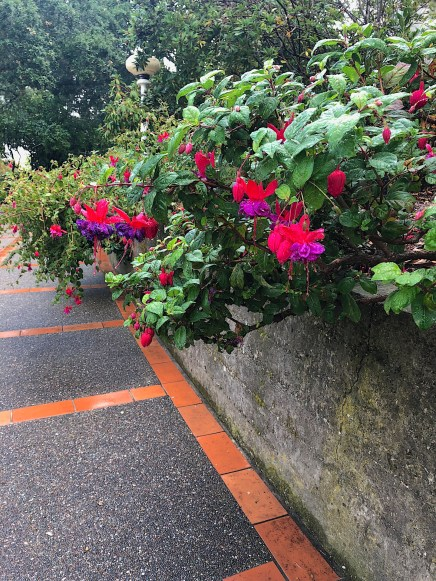 A garden wall showing a red and magenta double Fuchsia growing along it.