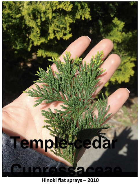 picture of the palm-size twig with leaves of the 'temple cypress (-cedar)