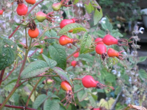 Rosehips on a bush, the fruiting part after flowering, used in tea. Photo by JeanneRose 2011