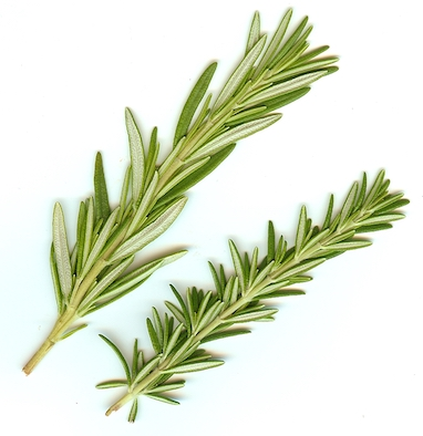 Showing 2 varieties of Rosemary, the large bush type and the smaller type called prostratus