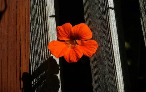 A single Nasturtium flower peaking through the fence