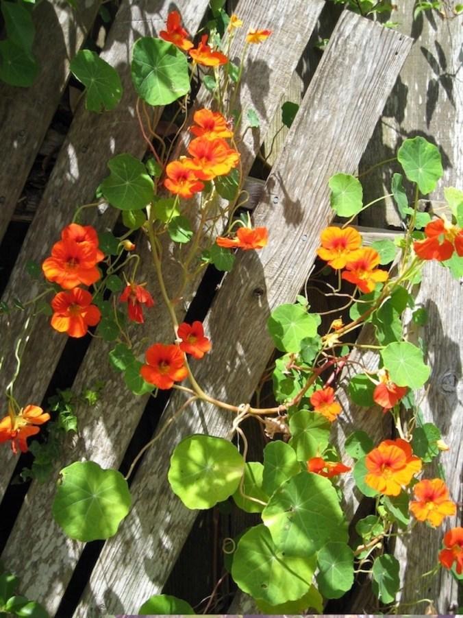Nasturtium growing up  on the fence