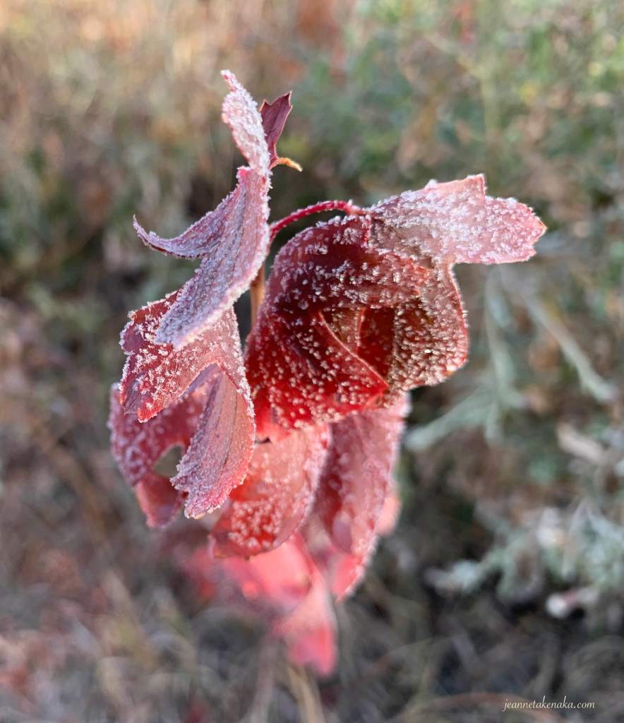A close-up image of curling red leaves with frost on them.