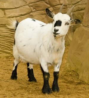Image result for female pygmy goat adult