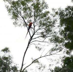 Kinderen en leerkrachten van basisschool de Wingerd keken wel vreemd,,een ara gewoon op het schoolplein in de boom!