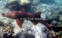 tn_Nurse shark