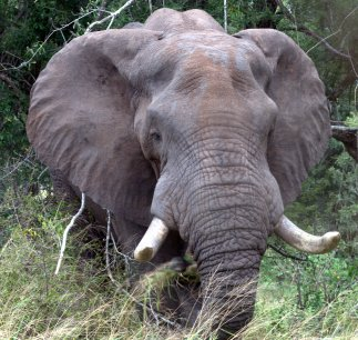 Elephants and fire control woody biomass, Adam F. A. Pellegrini et al. http://dx.doi.org/10.1111/1365-2745.12668 This paper was also the Editor's Choice: https://jecologyblog.wordpress.com/2016/12/19/editorchoice105-1/