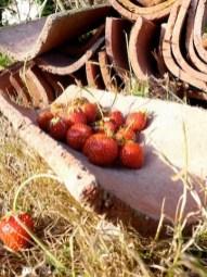 fraises_tuiles_CSC1