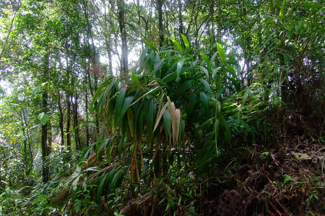 this bamboo like plant is used by the local people to wrap food
