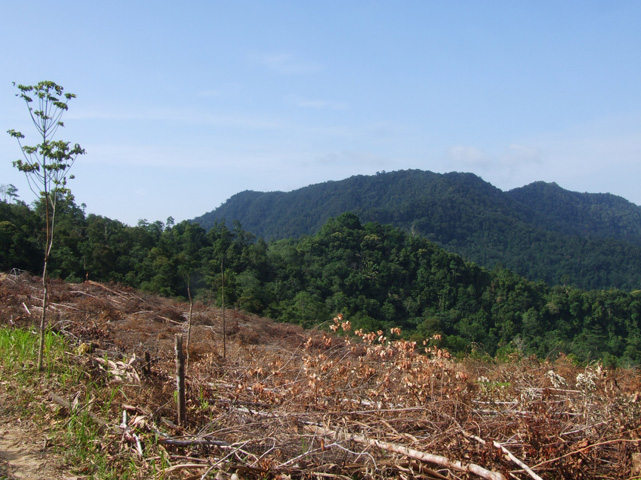 A section of secondary forest which has been felled to make room (and fertilizer) for pepper planting.