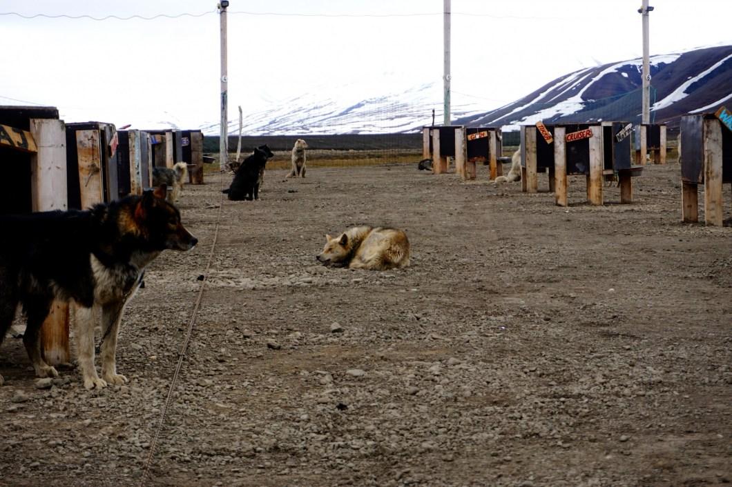 Green Dog Svalbard - wybieg