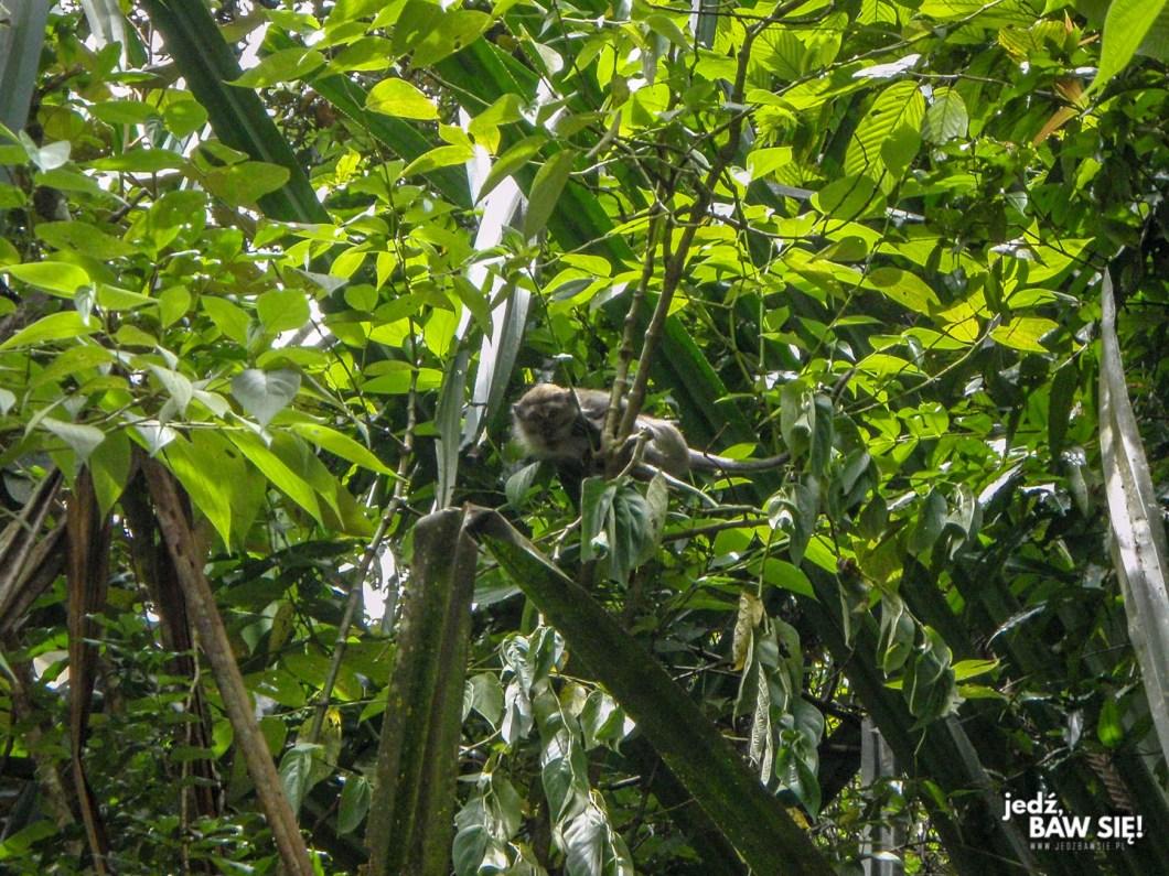 Gunung Leuser - małpa