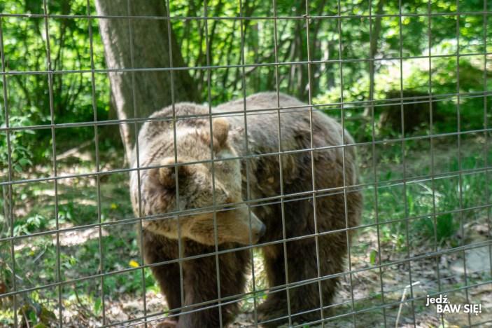 Rumunia - sanktuarium niedźwiedzi