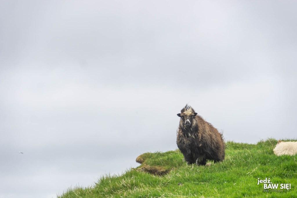 Mykines - owca