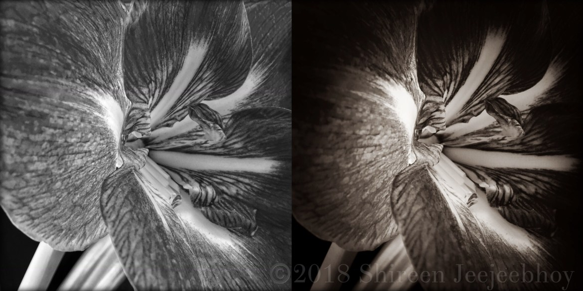 Amaryllis collage in two black and white versions