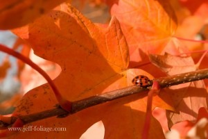 strong orange fall foliage color with a lady bug in Massachusetts in autumn of 2005
