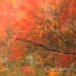 John Burke-Berkshires fiery orange fall foliage