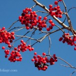 Sometime simple color is the best. These trees were covered in red berries which I placed against the deep blue sky for contrast