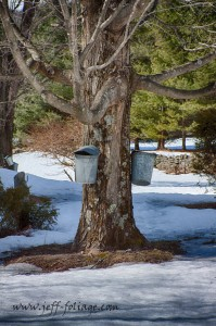 the Maple sap is collected in these metal buckets with the lids to keep out debris and then it's boiled down to create Maple syrup for breakfast