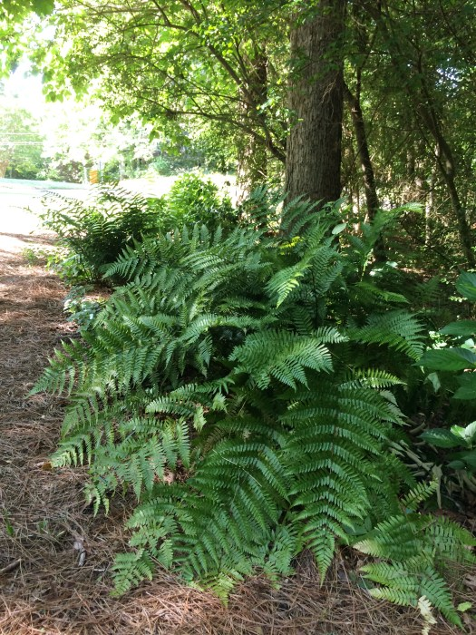 A large autumn fern along our drive way.