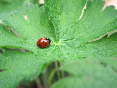A picture of a ladybird