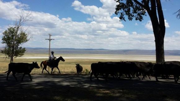 organic ranch, holistic management, moving cattle