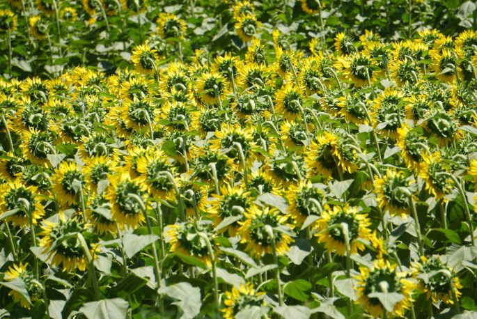 a field of yellow sunflowers with green stalks. the flowers are facing away from the camera.