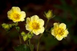 Cinquefoil in June, Yellowstone National Park