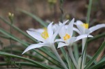 Sand Lilly in early May on the Billings rimrocks
