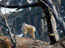 Mountain goat acting as a sentinel the rocky shores of Glacier Lake
