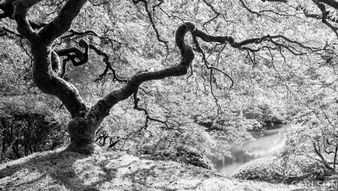 This is a pretty famous Japanese maple at the wonderful Portland Japanese Garden. It hadn't yet lit up with its full range of fall color, so I converted the shot to black and white. Portland Japanese Garden, Portland, OR