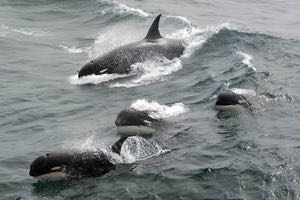 type d killer whale
