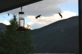 Hummingbirds last evening